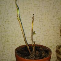 Как спасти гортензию садовую?