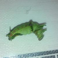 Подскажите, что это за гусеница?