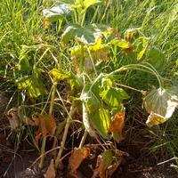 Помогите спасти кусты смородины