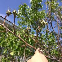 У взрослой груши засыхают листья и ветки. Что делать?