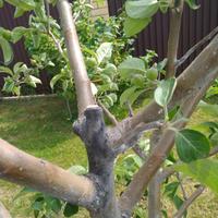 Темные пятна на стволе 5-летней яблони. Как лечить?