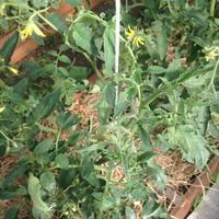 Вянут верхние листья и кисти томатов. В чем причина?