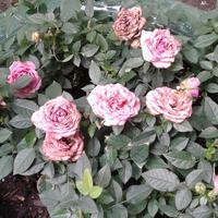 Помогите, пожалуйста, определить, чем болеют розы?