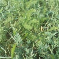 Что за трава растет около двора?