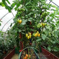 Самый красивый и самый солнечный томат Котя F1