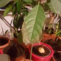 Почему темнеют и сохнут листья авокадо?