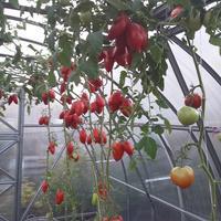 Царское Искушение F1. Последний сбор зрелых томатов