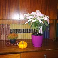 В течение нескольких недель пуансеттия сбросила почти все листья. В чем дело?