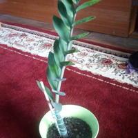 При разделении корней замиокулькаса клубень тоже разделился. Можно как-то помочь ему?