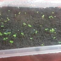 Подскажите, правильно ли я выращиваю рассаду петунии?