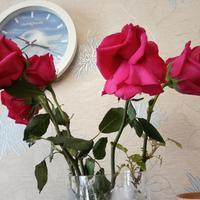 Розы из букета были посажены в горшок. Спустя некоторое время стали засыхать. Можно ли что-то сделать?