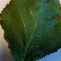 Что за болезнь у колоновидной яблони?