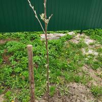 На саженце яблони почки стали распускаться на веточках и по стволу. Что делать с почками на стволе?