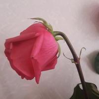 Вчера купили цветы, сегодня бутоны упали. В чем причина?