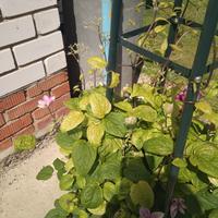 В один момент почти у всех лилий стали светлеть макушки, остановился рост. Такие же светлые макушки у почвопокровных роз и клематисов. Что с ними?