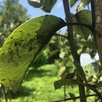 Лист у груши почернел, дерево пустило сладкую жидкость, которую осы едят. Что делать?