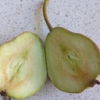 Плоды груши будто засыхают, образуются впадинки, некоторые ветки поникли. Что это за болезнь? Как ее лечить?