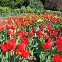 Выставка тюльпанов в Никитском ботаническом саду (Крым)