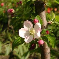 Все о посадке плодовых деревьев. Выбираем саженец. Выбираем время посадки.