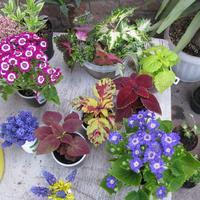 Общие рекомендации при высадке цветочной рассады