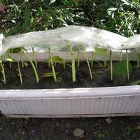 Размножение травянистых гибискусов черенками