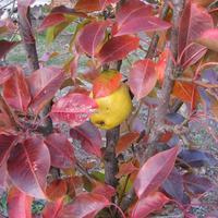 Груша Приморская красавица в осеннем наряде
