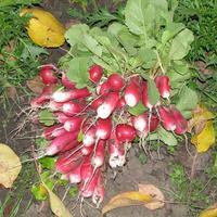 Осенний урожай редиса и рукколы
