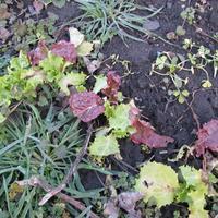 Листовой салат перезимовал в открытом грунте