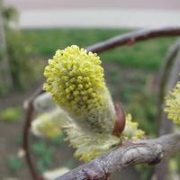 Новое растение в моем саду: ива козья, или Бредина (Salix caprea)