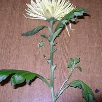 Вторая жизнь хризантемы из букета
