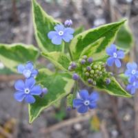 Цветы для клумбы в полутени: бруннера широколистная Hadspen Cream