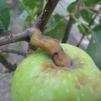 Яблоко с необычной плодоножкой