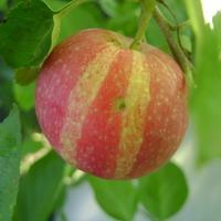 Причуды природы: полосатое яблоко