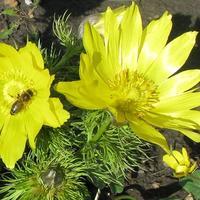 Цветы для весенней клумбы - адонис