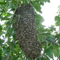 Пчелиный рой в саду – что делать?