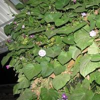 Ночное цветение ипомеи