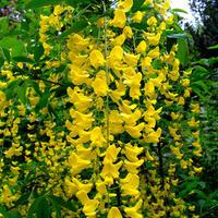 Майский «золотой дождь» бобовников