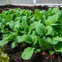 Выращивание редиса в теплице