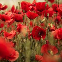 Маки — нежное очарование полей. Посадка, выращивание, уход