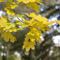 Деревья и кустарники с желтыми листьями — пришла пора золотой осени