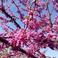 Сезон рассылки семян церциса открыт!
