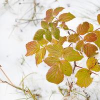 Как защитить малину: особенности зимнего и весеннего ухода