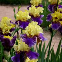 Ярче радуги: лучшие разноцветные сорта ирисов