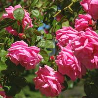 15 лучших сортов полуплетистых роз