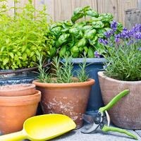 Пряная классика на вашем подоконнике: выращиваем в комнате базилик и розмарин