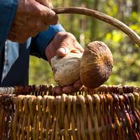 Осторожно, грибы! Золотые правила «тихой охоты»