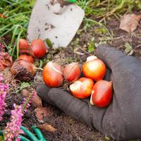 Сажать нельзя хранить: если опоздали с посадкой луковичных