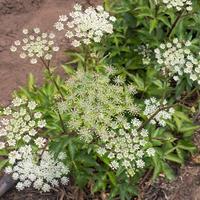 Ажурные зонтичные растения для изящных садовых композиций