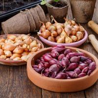 Чем обработать луковицы перед посадкой