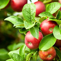 Плодовый сад: претенденты на посадку и их важные характеристики, о которых вам нужно знать